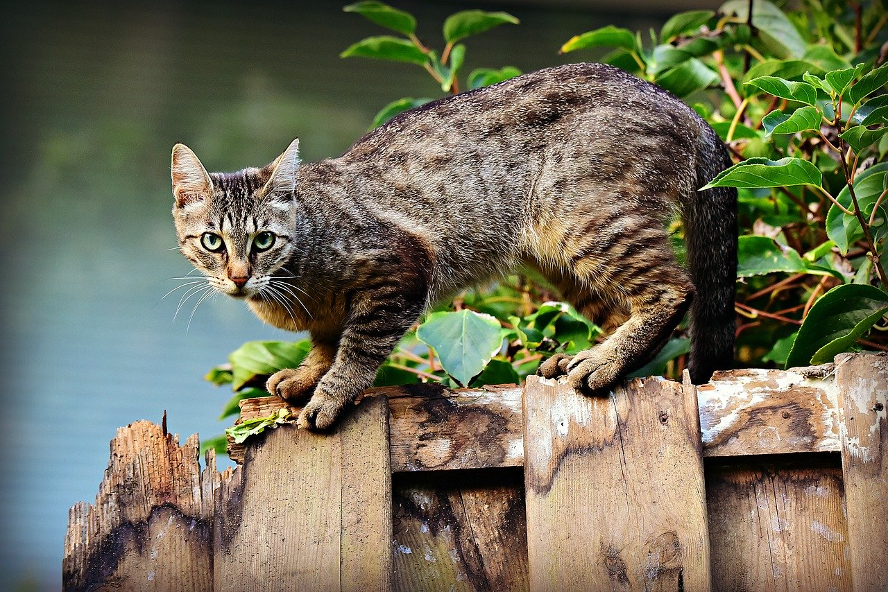 Make Feral Cats Stay Quickly by Letting Them Adapt to their Space
