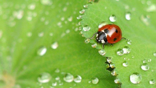 Ladybug, Beetle, Water Droplets, Insect